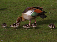 Egyptian goose with young